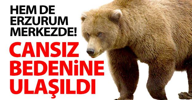 Erzurum'da ayı saldırısı!
