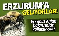 Bombus arıları Erzurum'a geliyor!